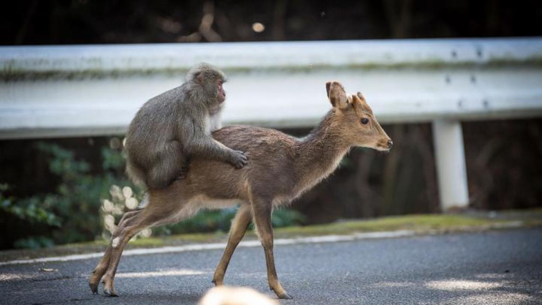 Monos y Ciervos