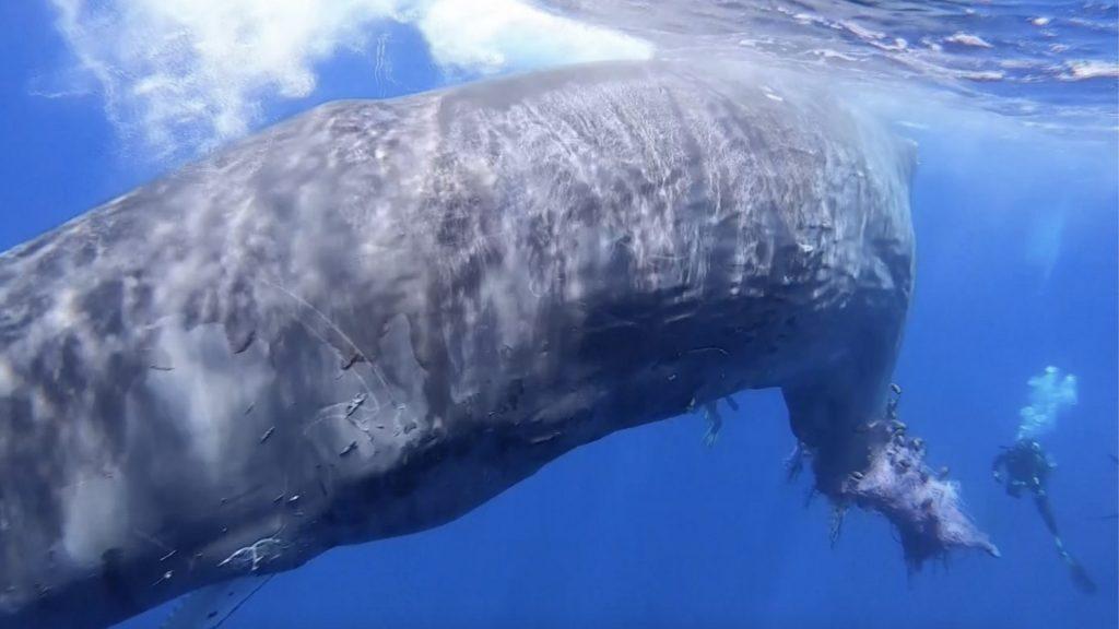 ballena-atrapada-rescate
