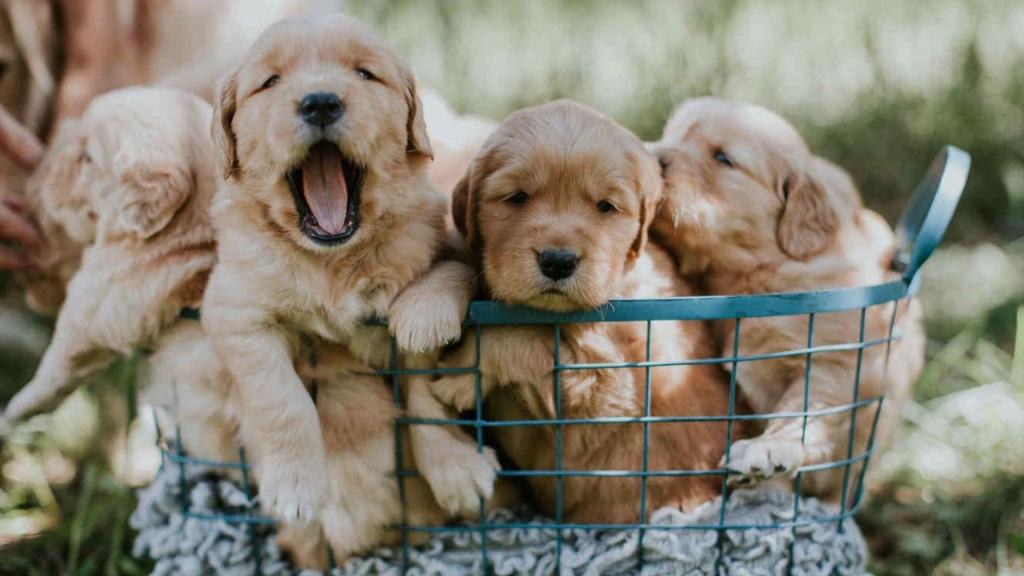 Cachorros-rescate