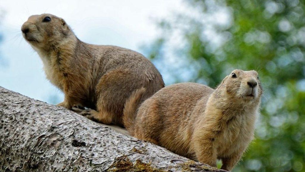 Marmotas - Cortesía