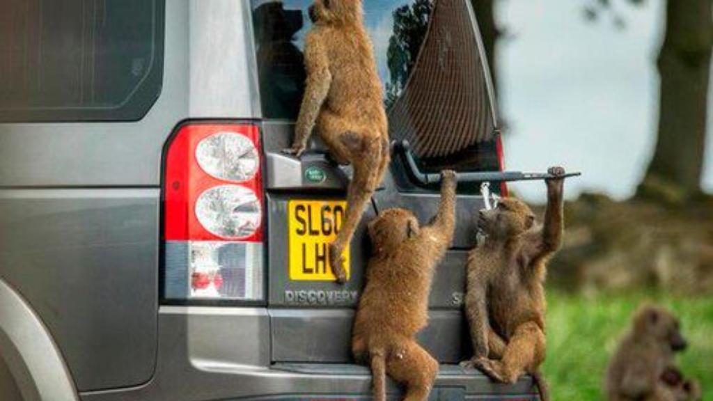 Monos armados - Cortesía