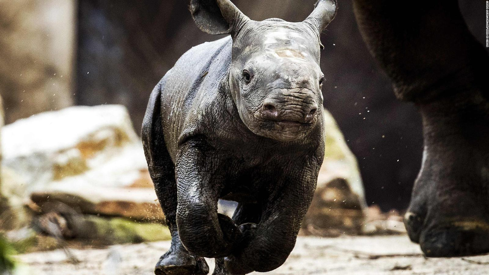 Rinoceronte-genética