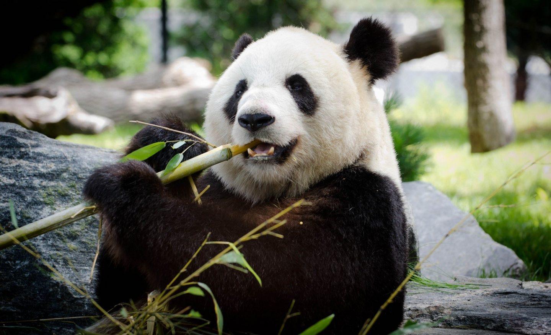 panda-bebe-nacimiento