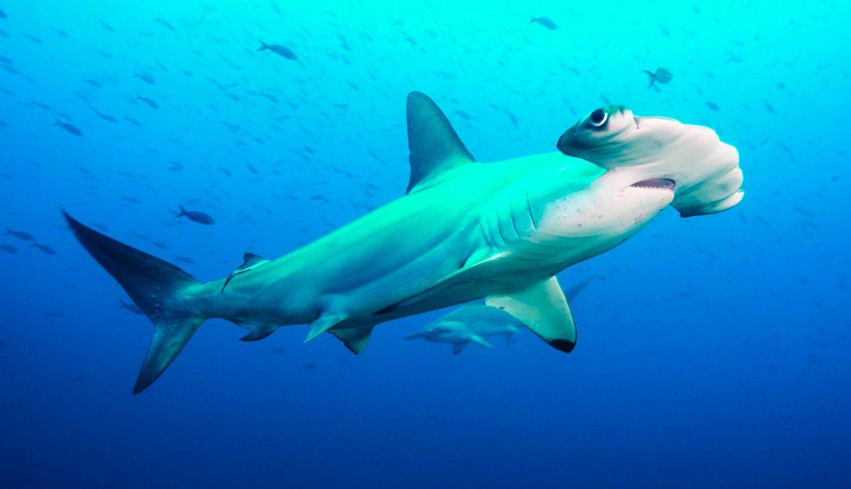 Tiburón - Foto-Cortesía