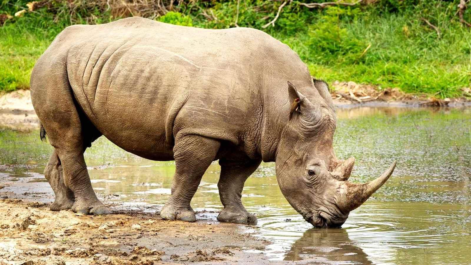 rinoceronte-tanzania-familia