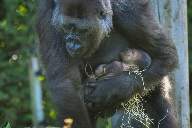 gorila-inglaterra-nacimeinto