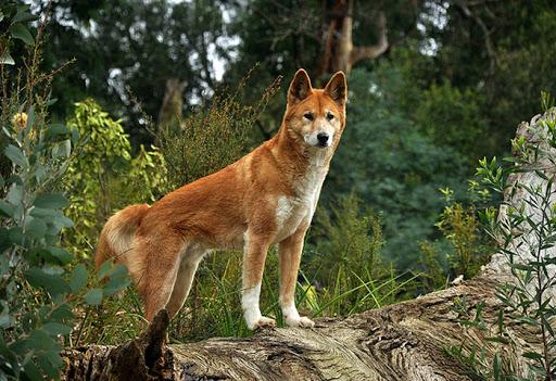 perro-cantor-dog