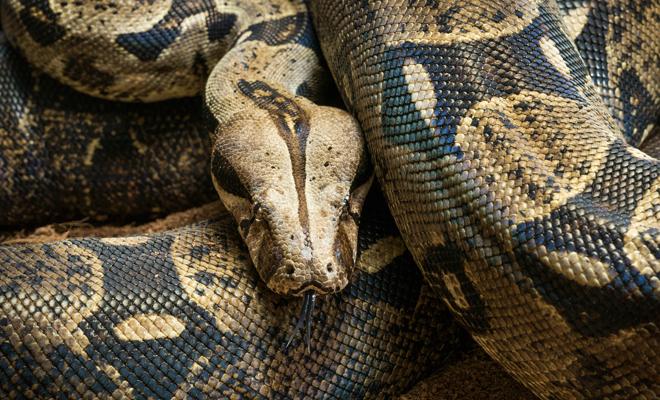 Serpiente mascarilla Foto Cortesía