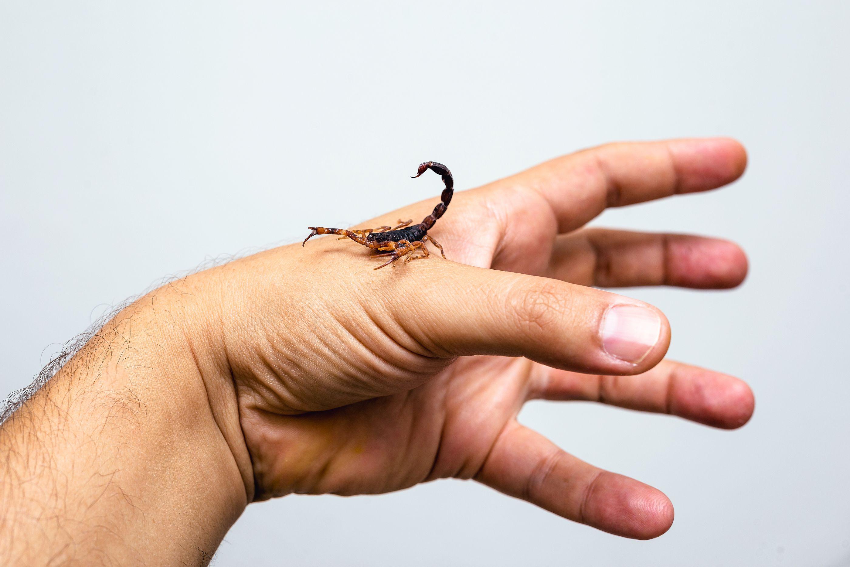 Mano escorpion- Imagen cortesía