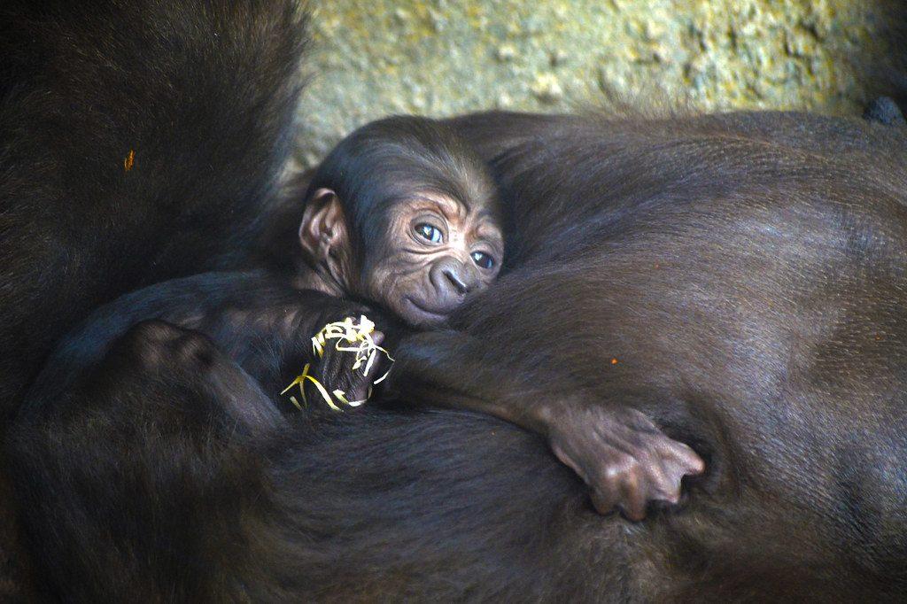 Gorila - Cortesía