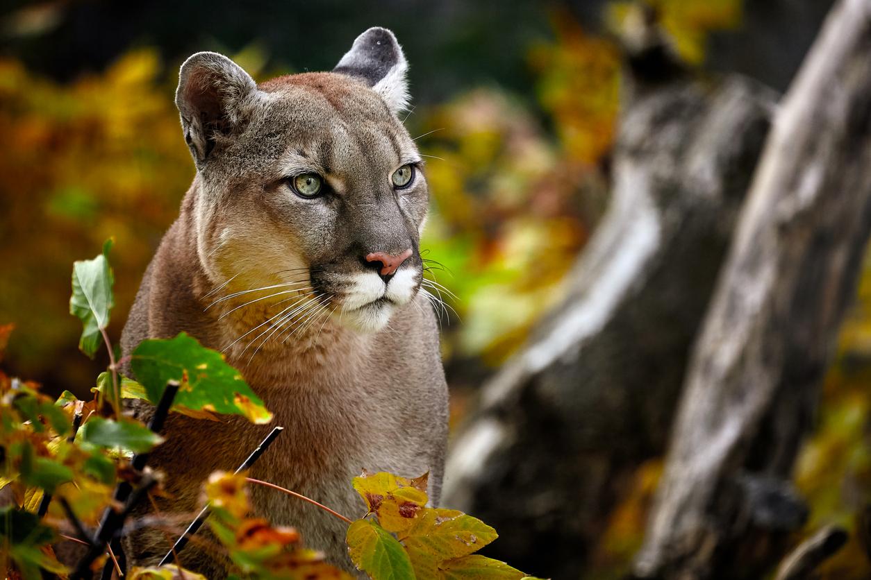 Puma foto Cortesía