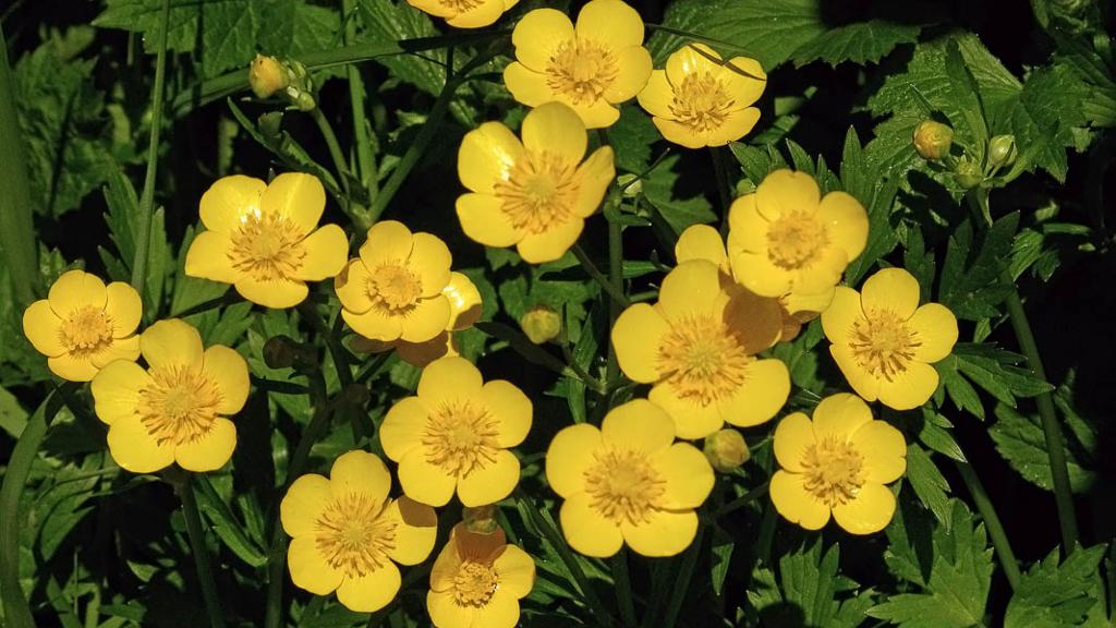 Flor botón de oro - Cortesía