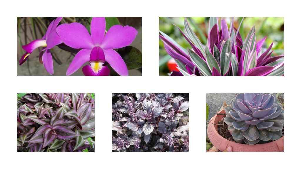 Cinco plantas moradas para la suerte - Composición Ronda