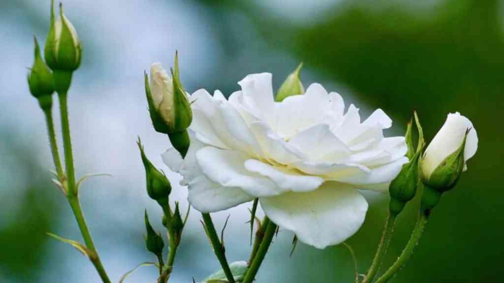 Rosa Blanca - Cortesía